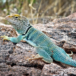 Collared Lizard Colors