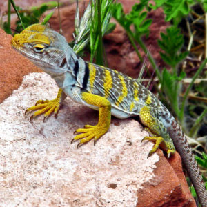 Youthful Collared Lizard