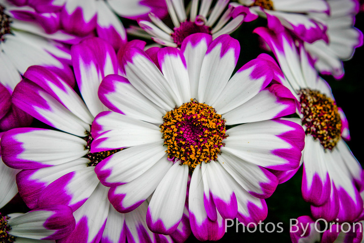 Purple/White Osteospermum