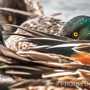 Peek-a-boo Duck