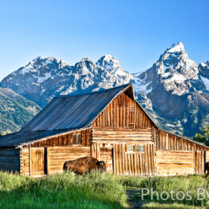 Buffalo and Barn