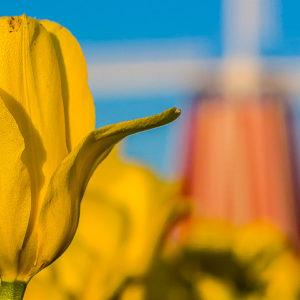 Yellow Purissima