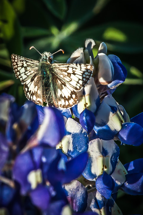 Butterfly on Bluebonnet