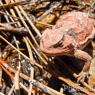 Greater Short Horned Lizard