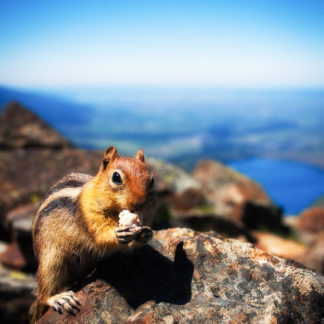 Mt. Howard Chipmunk