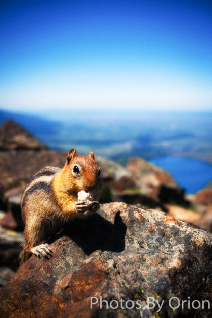 Mt. Howard Chipmunk