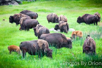 Buffalo Meadow