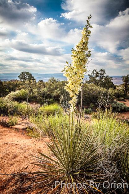 Yant Flat Yucca