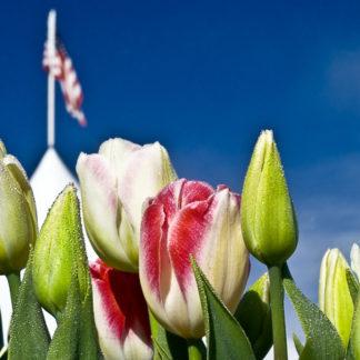 Patriotic Tulips