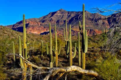 Superstition Cactus