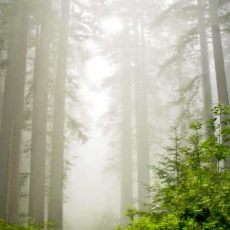 Redwoods in Mist