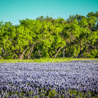 Bluebonnets at Forest Edge