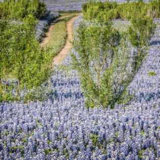 Road Through Bluebonnets