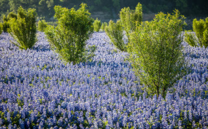 Bluebonnets and Trees