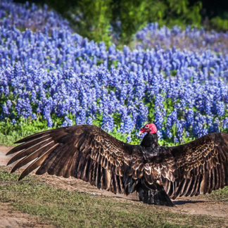 Vulture Flashing