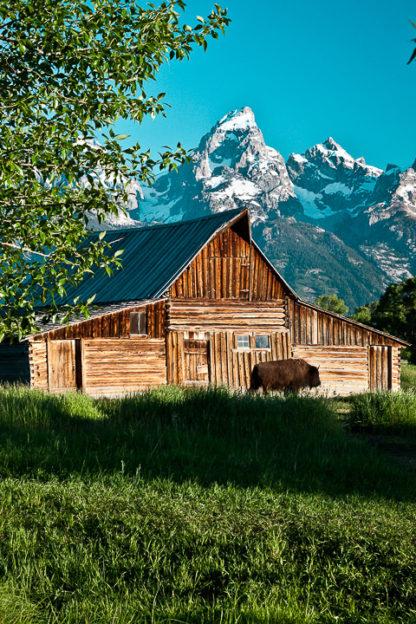 Buffalo and Barn