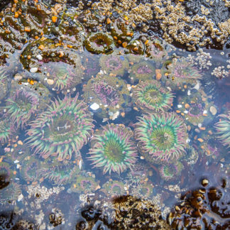 Sea Anemone Among Barnacles